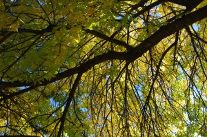 David Moulton Toronto Psychotherapist   Picture of Tree Branch with Yellow Leaves